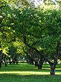 Apple orchards in Kolomenskoye 33.JPG