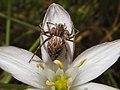 Araña lince -Oxyopes cf. heterophtalmus (14007542692).jpg