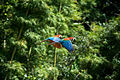 Ara chloropterus -Peru -flying-8e.jpg