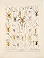 Arachnida Araneidea Vol 1 Table 23.jpg