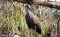 Aramus guarauna (Limpkin) 62.jpg