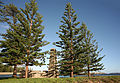 Araucaria heterophylla Kingston 1.jpg
