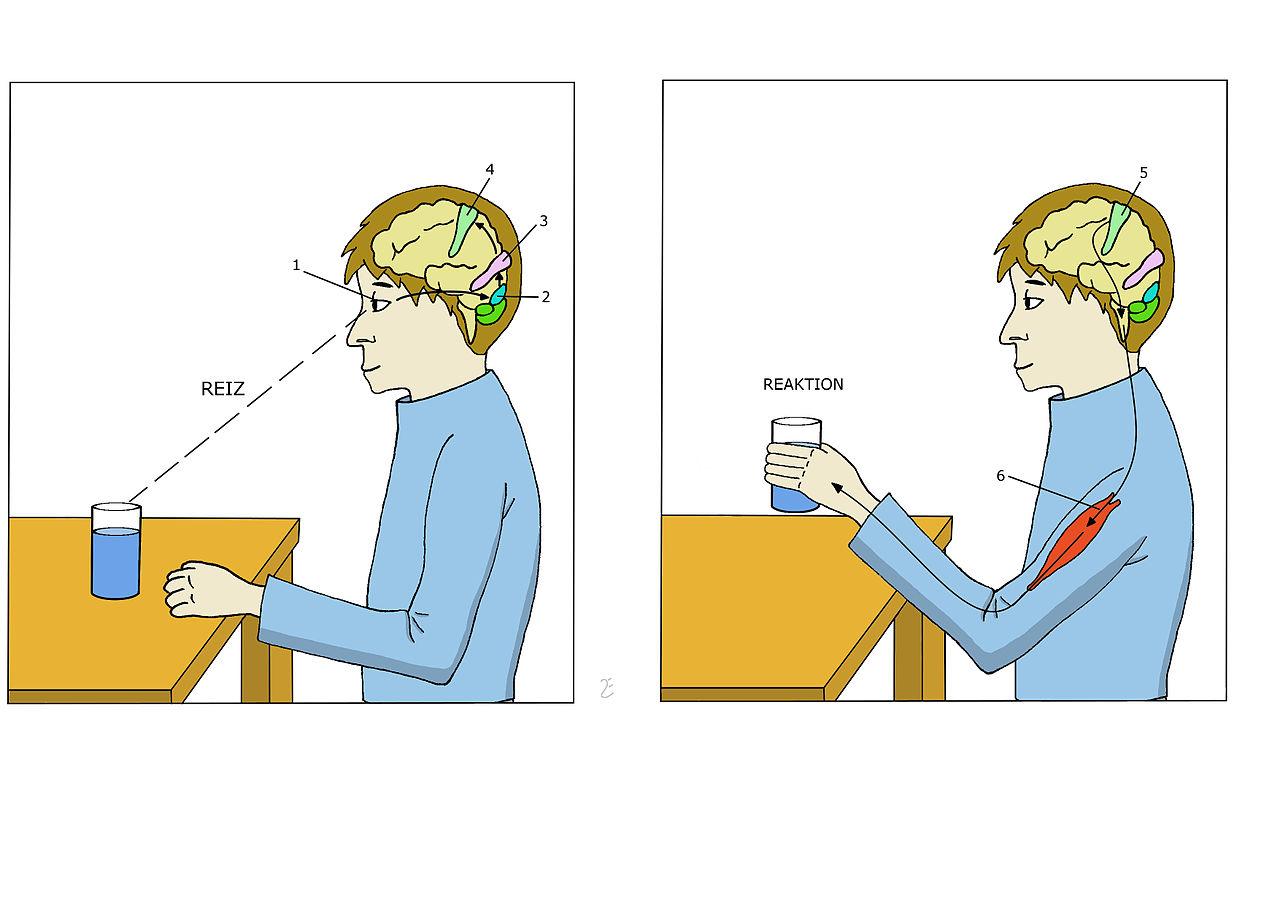 File:Arbeitsweise des Gehirns.jpg - Wikimedia Commons