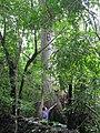 Arbol en un bosque de san juan de cinco pinos.JPG