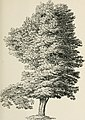 Arboretum et fruticetum britannicum; or, The trees and shrubs of Britain, native and foreign, hardy and half-hardy, pictorially and botanically delineated, and scientifically and popularly described; (14780872871).jpg