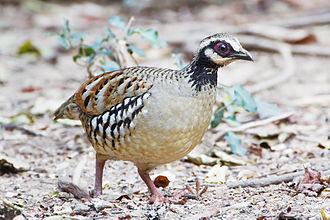 Bar-backed partridge - Female