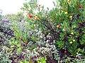 Arbutus unedo - panoramio.jpg