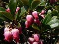 Arctostaphylos uva-ursi 39098.JPG