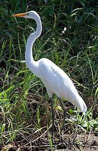 Ardea alba -Palo Verde National Park, Costa Rica-8