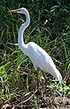 Ardea alba -Palo Verde National Park, Costa Rica-8.jpg