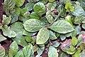 Ardisia japonica 0zz.jpg