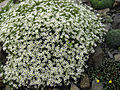 Arenaria grandiflora 6.JPG