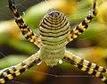 Argiope bruennichi female (32875951572).jpg