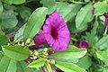 Argyreia cuneata - Purple Morning Glory - at Beechanahalli 2014 (9).jpg