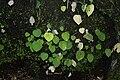 Ariopsis (plant) 7211.jpg