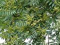 Aritha (Assamese- হাইঠা) (2560454869).jpg