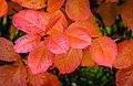 Aronia leaves on a rainy autumn day in Tuntorp 4.jpg