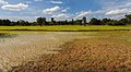 Arrozal, Angkor, Camboya, 2013-08-16, DD 04.JPG