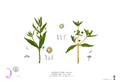 Artemisia viridis Blanco2.284.png