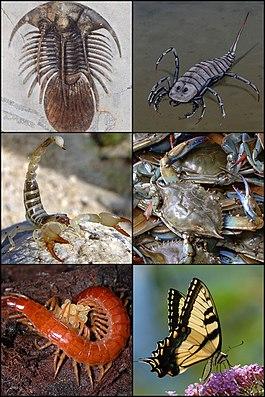 Beispiele fossiler und rezenter Arthropodengruppen: Trilobiten, Kieferklauenträger wie Seeskorpione und Spinnentiere, Krebstiere, Tausendfüßer und Sechsfüßer