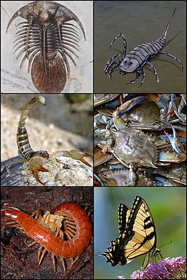 Examples of fossil and recent arthropod groups: trilobites, jaw-claw carriers such as sea scorpions and arachnids, crustaceans, millipedes and hexipedes