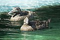 Artis Ducks (35436731093).jpg
