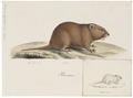 Arvicola amphibius - 1700-1880 - Print - Iconographia Zoologica - Special Collections University of Amsterdam - UBA01 IZ20500127.tif