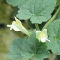 Asarina procumbens-IMG 1545.jpg