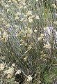 Asclepias subulata.jpg