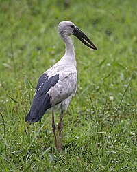 Asian Openbill (Anastomus oscitans) - Flickr - Lip Kee.jpg
