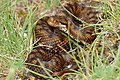 Asp Viper (Vipera aspis) female (found by Jean NICOLAS) (34854513364).jpg
