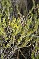 Aspalathus rubens (Fabaceae) (4576157368).jpg