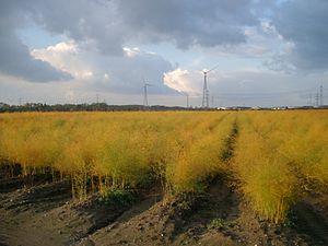 Cologne Lowland - Asparagus field near Sechtem