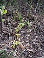 Asparagus asparagoides (L.) W.F.Wight (AM AK297762).jpg