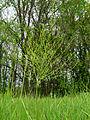 Asparagus officinalis Muromets3.JPG