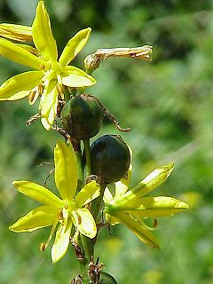 Asphodeloideae Subfamily of flowering plants, in monocot family Asphodelaceae