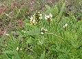 Astragalus cicer kz02.jpg