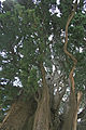 Athos Megisti Lavra St.Athanasios 1000 year old churchyard tree.jpg
