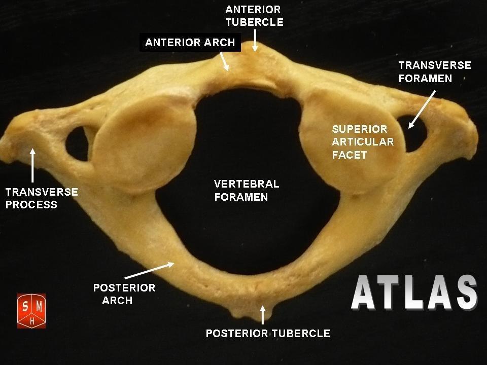 Atlas vertebrae