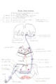 Auditory Tract.tif