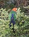 Australian King-Parrot (Alisterus scapularis) male - Flickr - Lip Kee.jpg