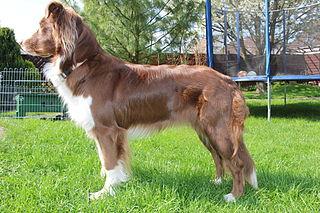 Australian Shepherd Breed of dog