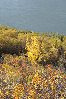 Autumn-Black-Poplar.jpg