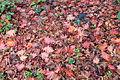 Autumn (fall) leaf litter.jpg