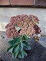 Autumn Joy Sedum (2917206834).jpg
