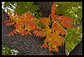 Autumn leaves of Canberra-06 (5855614893).jpg