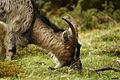 Aviemore-Goat.jpg