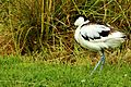 Avocet - Slimbridge (20822194911).jpg