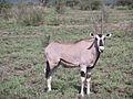 Awash NP Oryx.jpg
