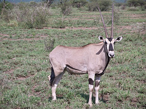 Beisa-Oryx (Oryx beisa) im Awash-Nationalpark
